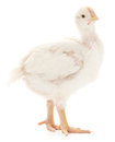 Small chicken Royalty Free Stock Photo
