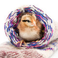 Small chicken sitting in a knit socks Royalty Free Stock Photo