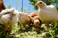 Small chicks feeding outside Royalty Free Stock Photos