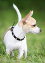 Small chihuahua dog with a brave expression standing on green grass shallow depth of field Royalty Free Stock Image