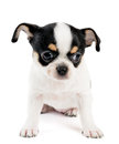 Small chihuahua puppy on white over background Royalty Free Stock Photos