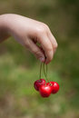 Small child hand holds three delicious red cherries Royalty Free Stock Photo
