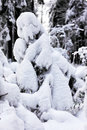 Small christmas tree covered with snow close up Royalty Free Stock Photography