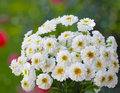 Small chrysanthemum bundle of white flowers in the summer time Stock Images