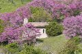 Small church and trees in bloom country surrounded by siliquastro Royalty Free Stock Image