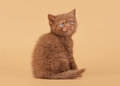 Small cinnamon british kitten Stock Photos
