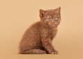 Small cinnamon british kitten Stock Images