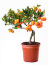 Small citrus tree in the pot Royalty Free Stock Images