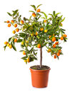 Small citrus tree in the pot