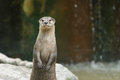Small claw otter are standing Royalty Free Stock Images
