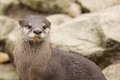 Small clawed otter looking out its prey Stock Photos