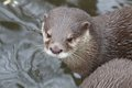 Small clawed otter portrait of a or asian a cute predator from the far east Stock Image