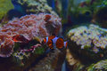 Small clown fish swimming between two rocks in the background with particularly recognizable pinkish red mushroom corals on Royalty Free Stock Image