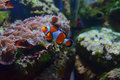 Small Clown fish swimming up with different corals in the background Royalty Free Stock Photo
