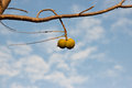 Small cluster of walnuts hanging from a dead branch Royalty Free Stock Photo