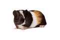 Small colored guinea pig macro portrait of Royalty Free Stock Images