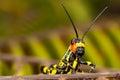 Small coloured orange, yellow, white and black grasshopper