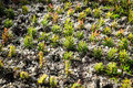 Small conifer seedlings detail of very planted in rows Royalty Free Stock Images