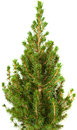 Small conifer tree isolated on white Stock Photo