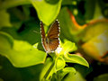 Small Copper butterfly 2 Royalty Free Stock Photos