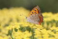 Small copper on cow parsnip the closeup picture of a Royalty Free Stock Photography