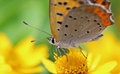 Small copper on gold medallion flower the closeup picture of a Royalty Free Stock Images