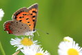 Small copper on a white flower the closeup picture of Royalty Free Stock Photos