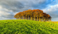 Small copse of trees on a hill beech under dramatic sky Stock Images