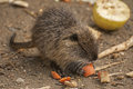 Small Coypu Royalty Free Stock Image
