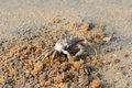 Small crab on beach Royalty Free Stock Images