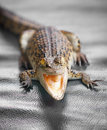 Small crocodile close up with open mouth Royalty Free Stock Image