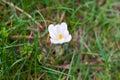 Small crocus blossom beetween grass