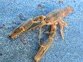 Small crustacean in Caspian Sea Royalty Free Stock Photo