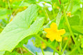 Small cucumber with flower on tree Royalty Free Stock Photo