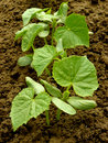 Small cucumber plants Stock Photography