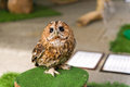Small curious owl little standing on the log Stock Photography