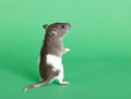 Small curious rat Stock Images