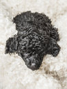 Small curly black poodle pup resting little adorable puppy relaxing on white fur Stock Images