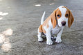 Small cute beagle puppy dog Royalty Free Stock Photo