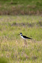 Small cute black necked stilt a with long legs walks along in a swamp area Stock Photos