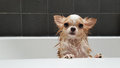 Small cute brown chihuahua dog waiting in the tub after taking a Royalty Free Stock Photo