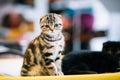 Small Cute Gray Scottish Fold Cat Kitten Indoor Royalty Free Stock Photo