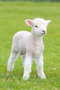 Small cute lamb gambolling in a meadow in a farm Royalty Free Stock Photo
