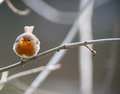 Small cute robin bird perched on tree twig Royalty Free Stock Photography