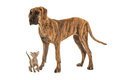 Small cute siamese baby cat looking up to a large great dane dog Royalty Free Stock Photo