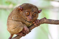 Small and cute tarsier Royalty Free Stock Photo