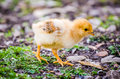 Small cute white yellow chick Royalty Free Stock Photo