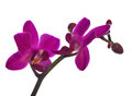 Small dark pink orchid flowers on white Royalty Free Stock Photo