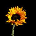 Small decorative garden sunflower on a black background Stock Images