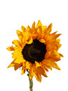 Small decorative garden sunflower on white background Royalty Free Stock Photo